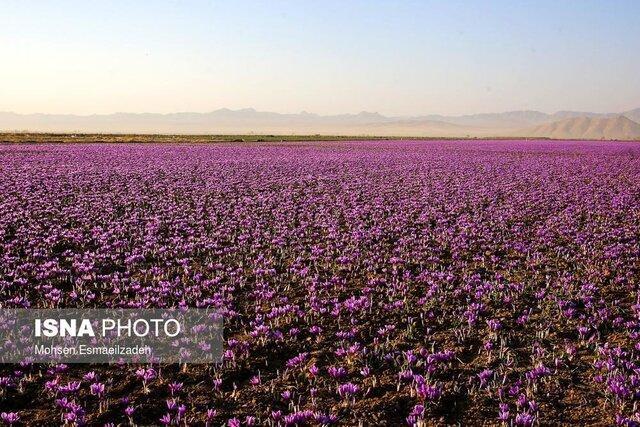 سرما به یک سوم مزارع زعفران گناباد خسارت وارد کرد