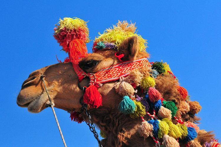 طرح گردشگری با شتر برای اولین بار در کشور