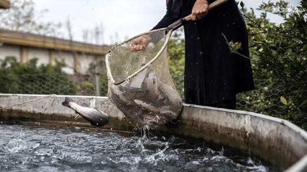 تولید سالانه بیش از 9 هزار تن ماهی در اردبیل