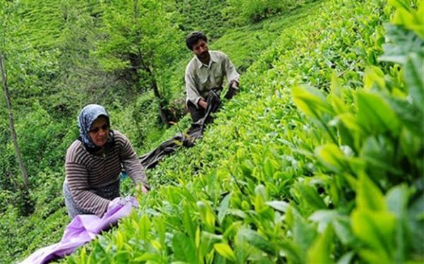 58 هزار و 610 تن برگ سبز چای از چایکاران خریداری شد